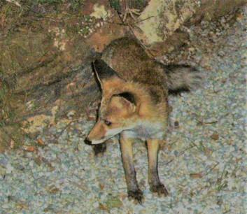 Un zorro vino a cenar con nosotros